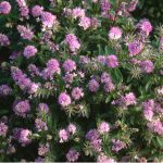 Hebes can be grown in nearly all situations from in the ground to in pots and containers and best of all there easy to grow. Learn more about growing hebes.