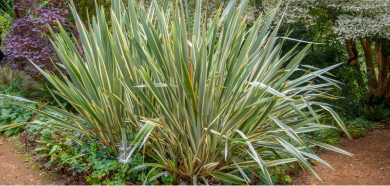 Phormiums, known as New Zealand Flax can be very rewarding and they are also very hardy. Learn about growing phormiums now from propagation to winter care.