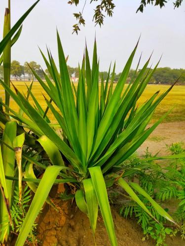 Hardy Yucca