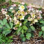Hellebores are stunning perennials with winter interest and Hellebore propagation can be easily done by division or sowing seeds. Learn how to propagate hellebores.