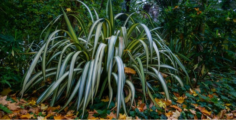 How and when to prune Phormiums (New Zealand Flax)