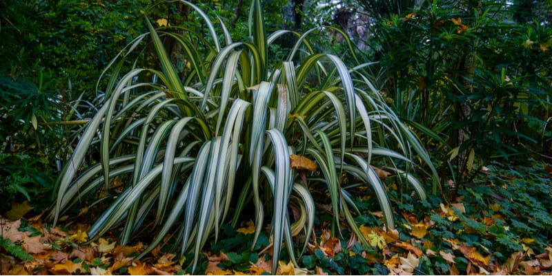 we look at how and when to prune Phormiums (New Zealand Flax) to remove spent flowers and damaged leaves
