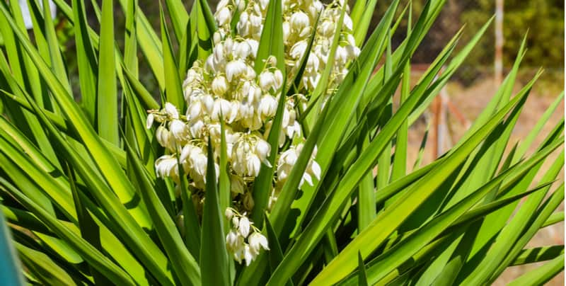 How to divide Yucca plants