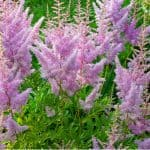 Astilbes are perfect for planting in shade. They do benefit from dividing to help improve plants and propagate them. Learn how to divide astilbes now.