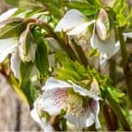 Helleborus produce spectacular displays in winter and spring, they are well suited to shade too. In this guide, we look at how to grow hellebores step by step