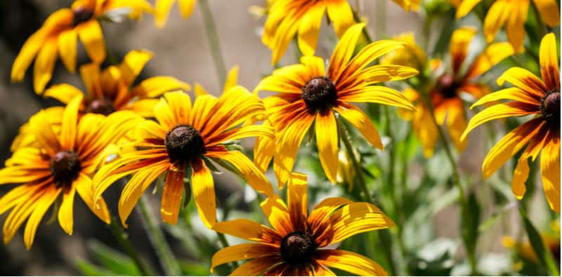 In this easy to follow guide, we look at how to grow black eyed susan also known as Rudbeckia. We look at sowing seed, varieties, general care and more.