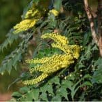 In this guide, we look at how to grow Mahonia japonica from planting and general care to pruning and treating diseases such as mildew. Read growing guide now