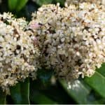 How to grow skimmia. Skimmia is a popular evergreen shrub that is popular for its winter interest and is perfect for growing in pots and containers. Learn more about growing Skimmia