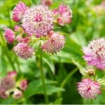 How to plant and grow Astrantia