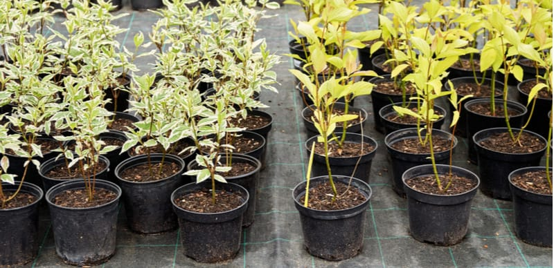 Cornus is easy to propagate and can even be done with the waste material when you prune them back. Learn how to propagate Cornus by taking hardwood cutting.