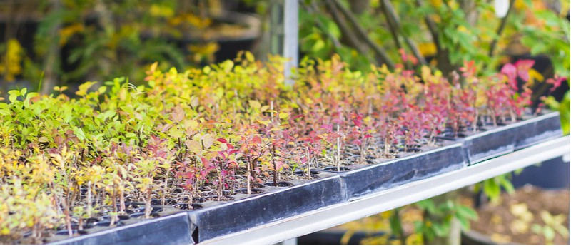 Berberis is now available in many interesting varieties and one way to get more is by propagating them. Learn how to propagate berberis now by taking cuttings.