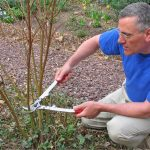 Cornus, also known for Dogwoods are known for there bright winter stems but this requires the correct pruning. Learn how to prune Cornus Dogwoods Now and When