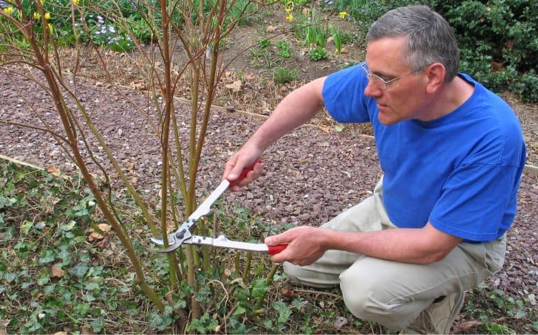 How to prune Cornus Dogwoods to ensure vibrant colour stems over winter