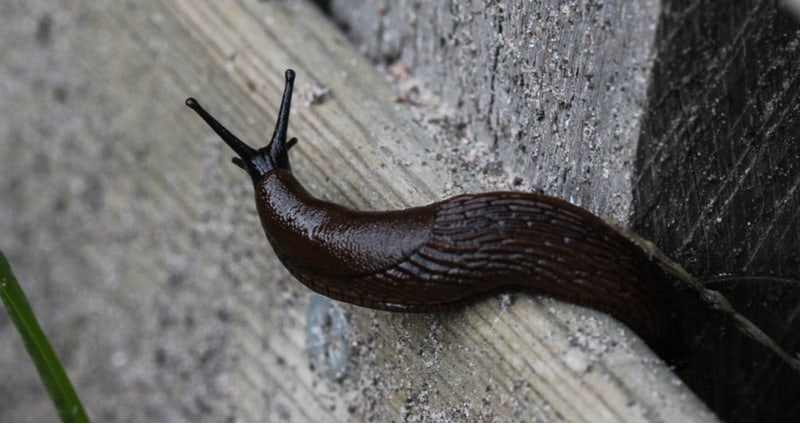 Slugs coming into your home is usually a problem with older home especially if you have cat or dog food out. Learn how to stop slugs coming into your house now.