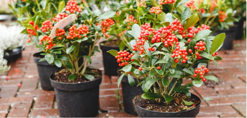 Skimmia offers winter interest and is fairly easy to propagate by taking semi-ripe cutting. Read our guide on how to take cuttings from skimmia step by step.