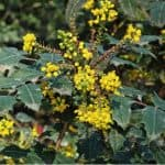 Mahonia x media 'Charity' is one of the more popular varieties of Mahonia shrubs so in this guide we look at how to grow and care for Mahonia media charity.