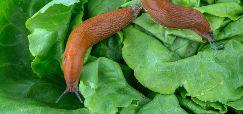 In this guide, we look at some organic ways to stop slugs eating the plants in your garden which includes nematodes, copper wire and other natural ways