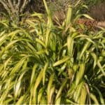 Phormiums are generally pest-free but one pest that is causing issues is the Phormium mealybug which look like a white fluffy wax