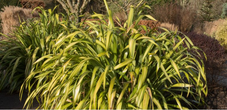 Phormium mealybug pest and how to treat it