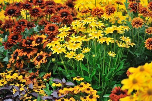 rudbeckia flowers in autumn garden