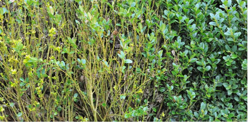 In this guide, we discuss common buxus problems which include the dreaded box blight but we also look at Volutella blight, box rust and other problems that affect box plants.