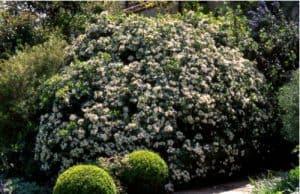 Choisya hedge