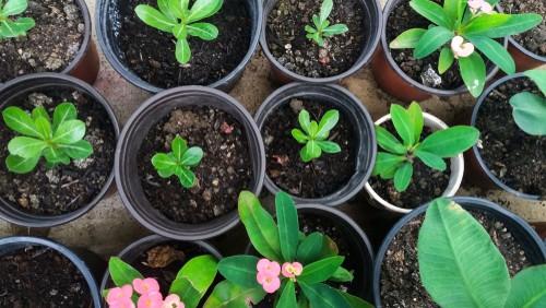 Euphorbia cuttings growing well