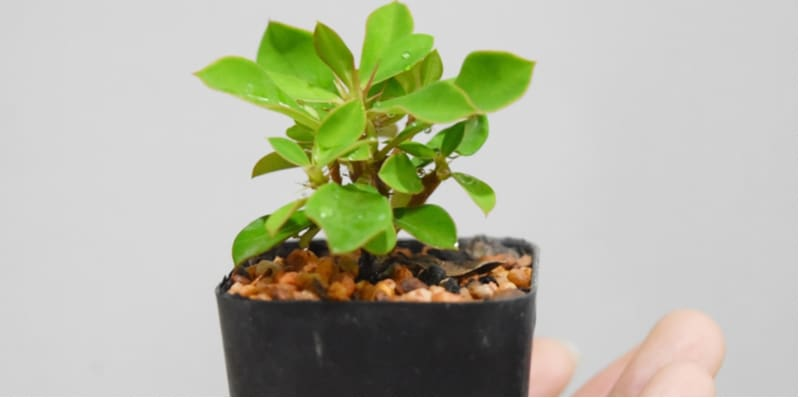 One of the best ways to propagate Euphorbia is by growing Euphorbia from cuttings. Take cuttings in spring, around 2 inches long and plant in pots
