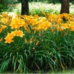 Hemerocallis, also known as Daylilies produce a spectacular show and can be grown in the ground or in containers. Learn more about how to grow Hemerocallis