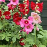 Growing hollyhocks is very rewarding and there are not many plants that can compete with this stunning cottage garden plant. Learn how to care and grow them now