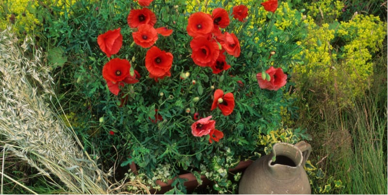 Poppies are best grown in the ground but with a few adjustments, you can start growing poppies in pots and have a lot of success. Read our growers guide now.