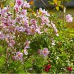 In this guide, we explain how and when to divide Japanese anemones to get the most out of them. This should be done in spring and only every 5-10 years.
