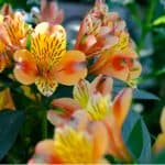 In this guide, we look at how and when to divide alstroemeria. The process is fairly simple but it does need to be done at the right time of year.