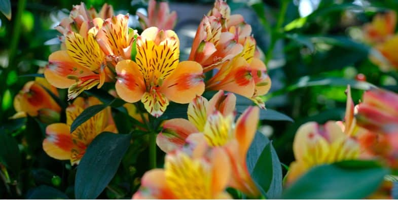 How and when to divide alstroemeria