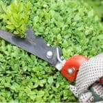 Young Buxus should be trimmed by around a third when young between May and August but established plants are best trimmed around August to avoid Buxus blight