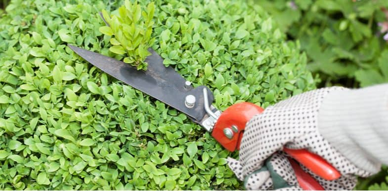 When and how to prune/trim Buxus