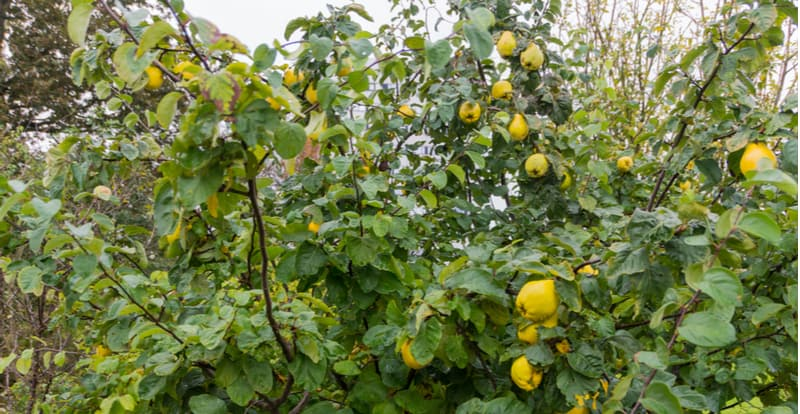 In this guide, we look at how and when to prune quince trees to get the most out of them. They need very little pruning, this can be done when they are dormant.