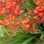 Croscosmia flower best when a little crowded but they do best with divided every 3-4 years in spring. Learn how to divide crocosmia step by step now