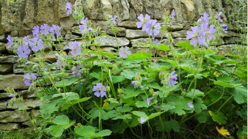Hardy geraniums are best divided every few years in spring or autumn depending on the type to encourage vigour. Learn how to divide hardy geraniums now.