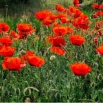 Poppies flowers may be short-lived but they are very sunny with both annuals and perennials being popular choices. Learn how to grow poppies now in our guide.