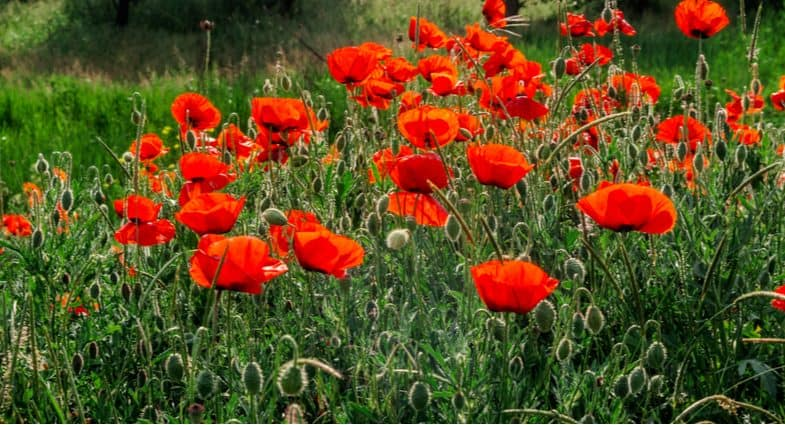 How to grow and care for poppies (Papaver)
