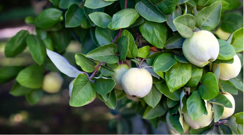 In this guide, we look at how to grow quince trees from planting, general care, pruning and treating common diseases and more. Read this professional guide now.