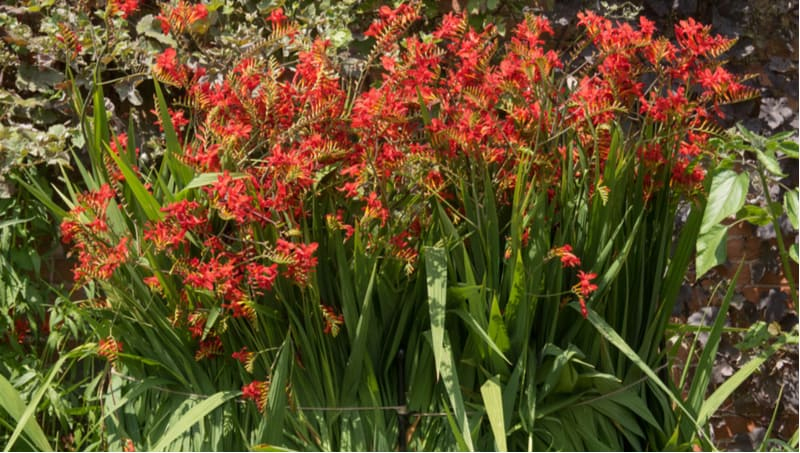 Crocosmia can be a very rewarding perennial to grow and produce stunning flowers. Learn how to grow crocosmia now from planting to dividing plants and more.