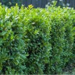 In this guide, we discuss how to plant a new Buxus hedge from choosing between bare root and potted box plamts and even instant hedges. Learn how to plant now