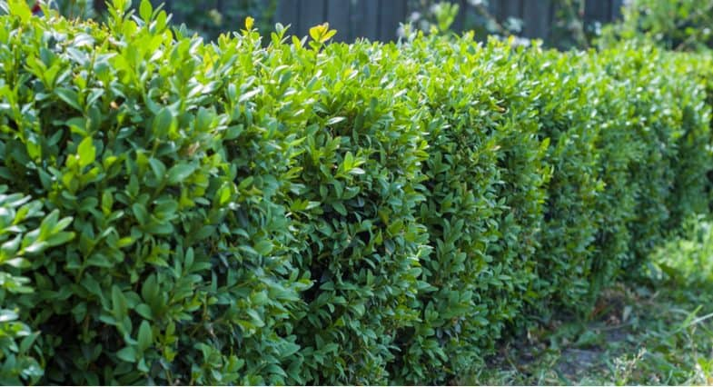How to plant a Buxus hedge potted vs bare root and spacing