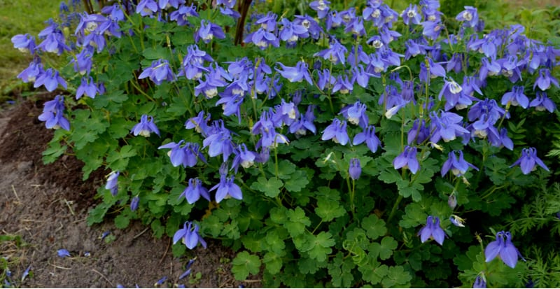 Learn how to plant and grow Aquilegias commonly known as columbine and learn everything from planting to propagation and more.
