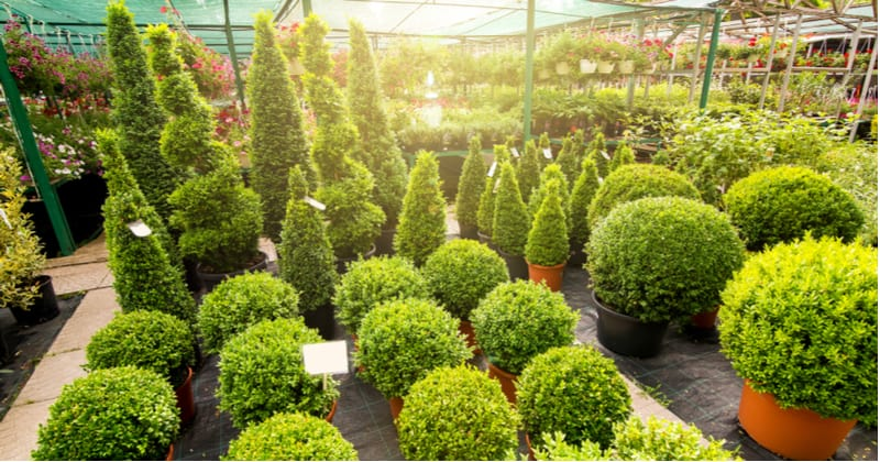 Buxus is perfect for using as topiary plants as well as small hedging. Learn how to plant and grow Buxus from choosing the right position to general care.