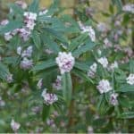 Daphne have a lot to offer from the flower in winter to sweet scent that makes them so popular. Plant shrubs in dappled shade. Learn how to grow Daphnes now.