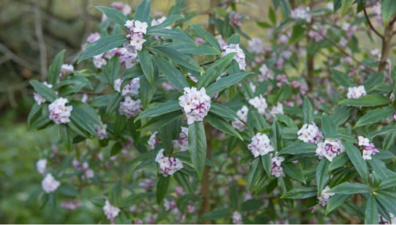 How to grow Daphnes from planting positions, general care to propagating