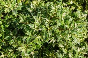 Osmanthus hedge